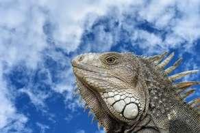 iguana-lizard